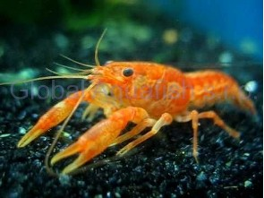 "Cambarellus patcuarensis ""Orange mini cray"""