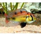 Astatotilapia Yellow belly